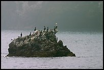 Rock covered with cormorants and pelicans, Santa Cruz Island. Channel Islands National Park ( color)