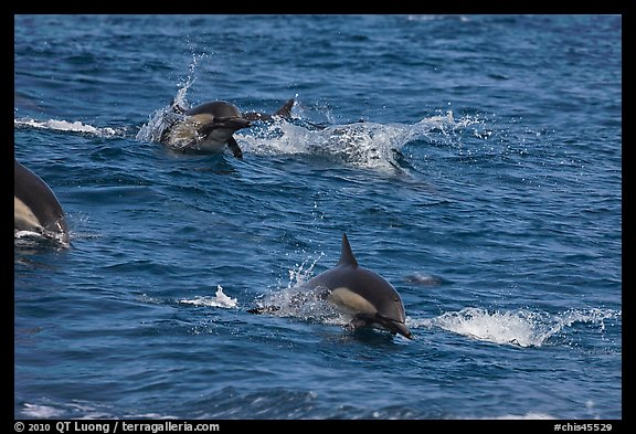 Dolphins jumping out of ocean water. Channel Islands National Park (color)