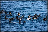 Raft of sea lions in ocean. Channel Islands National Park ( color)