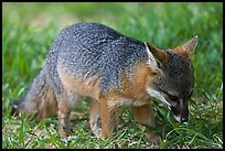 Critically endangered Coast Fox (Channel Islands Fox), Santa Cruz Island. Channel Islands National Park, California, USA. (color)