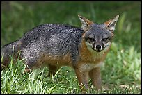 Island fox (Urocyon littoralis santacruzae), Santa Cruz Island. Channel Islands National Park, California, USA.