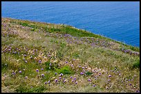 Wildflowers and wind-blown grasses on coastal bluff, Santa Cruz Island. Channel Islands National Park, California, USA. (color)