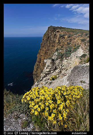 Coreopsis and cliff, Cavern Point, Santa Cruz Island. Channel Islands National Park (color)