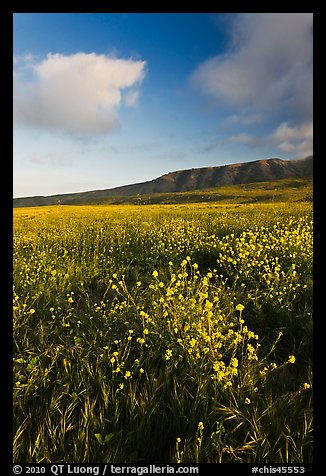 Flowers and hills near Potato Harbor, late afternoon, Santa Cruz Island. Channel Islands National Park, California, USA.