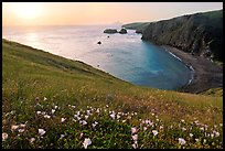 Wild Morning Glories and Scorpion Anchorage, sunrise, Santa Cruz Island. Channel Islands National Park, California, USA. (color)