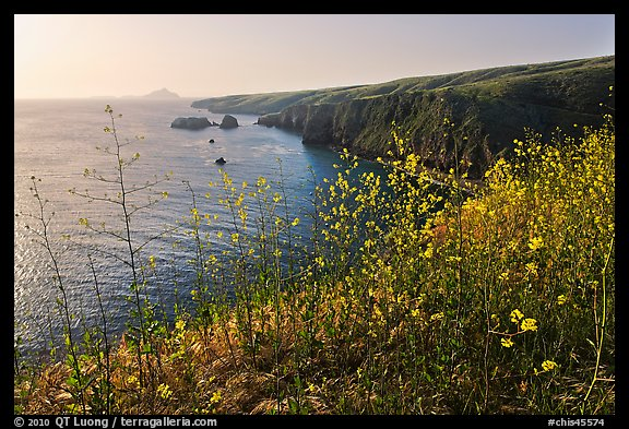 Mustard in bloom and seacliffs, Scorpion Anchorage, Santa Cruz Island. Channel Islands National Park (color)