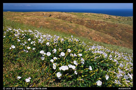 Wild Morning Glory flowers, hills, and ocean, Santa Cruz Island. Channel Islands National Park, California, USA.