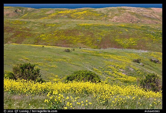 Mustard flowers and rolling hills, Santa Cruz Island. Channel Islands National Park (color)