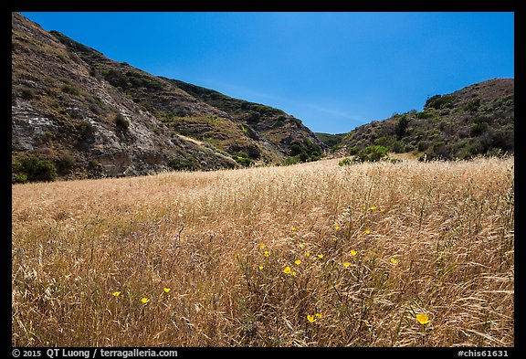 Wildflowers and grasses, Cherry Canyon, Santa Rosa Island. Channel Islands National Park (color)