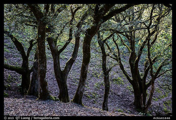 Cloud forest of endemic Island Oak, Santa Rosa Island. Channel Islands National Park (color)