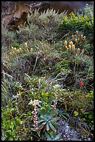Lush slope with flowers and shrubs in Lobo Canyon, Santa Rosa Island. Channel Islands National Park ( color)