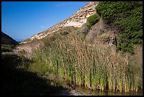 Reeds near the mouth of Lobo Canyon, Santa Rosa Island. Channel Islands National Park ( color)