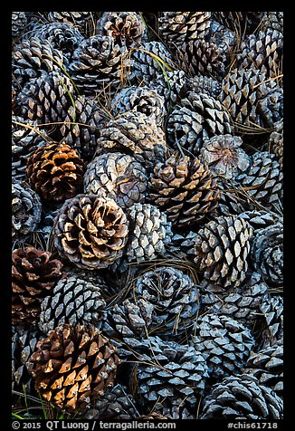 Fallen Torrey Pine cones, Santa Rosa Island. Channel Islands National Park (color)