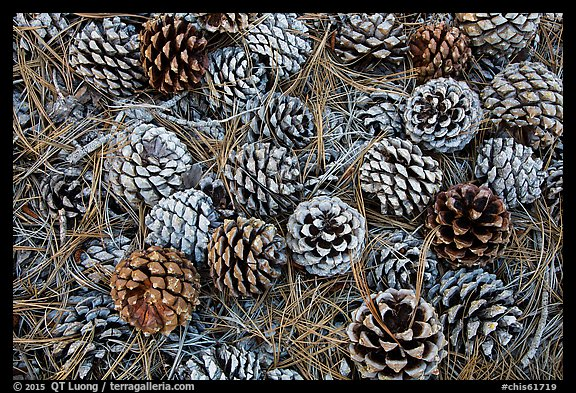 Torrey Pine cones and needles on the ground, Santa Rosa Island. Channel Islands National Park (color)