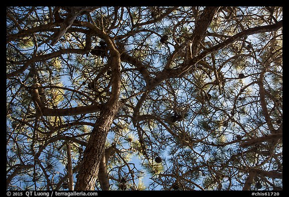 Looking up Torrey Pine, Santa Rosa Island. Channel Islands National Park (color)