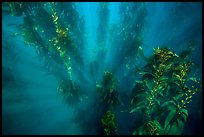 Sunrays looking down kelp forest, Santa Barbara Island. Channel Islands National Park, California, USA.
