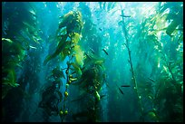 Kelp bed and fish, Santa Barbara Island. Channel Islands National Park ( color)