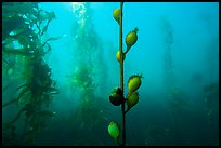 Pneumatocysts and kelp plants underwater, Santa Barbara Island. Channel Islands National Park, California, USA.