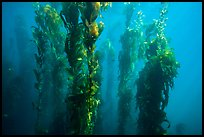Underwater forest of giant kelp, Santa Barbara Island. Channel Islands National Park, California, USA.