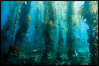 Giant kelp forest, Santa Barbara Island. Channel Islands National Park, California, USA.