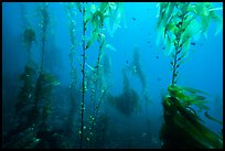 Giant kelp, pneumatocysts, and fish, Santa Barbara Island. Channel Islands National Park, California, USA.