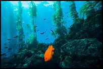 Garibaldi fish, rocky reef, and kelp, Santa Barbara Island. Channel Islands National Park ( color)