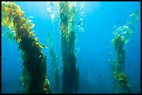 Fish and giant kelp plants, Santa Barbara Island. Channel Islands National Park, California, USA.