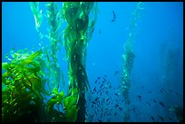 Kelp fronds and school of fish, Santa Barbara Island. Channel Islands National Park, California, USA.