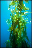 Giant kelp, blades and stipes, Santa Barbara Island. Channel Islands National Park, California, USA.