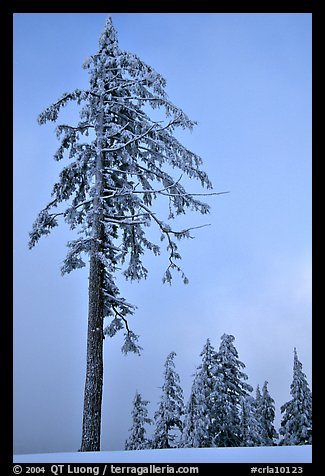 Tall snow-covered pine tree. Crater Lake National Park (color)
