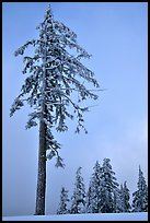 Tall snow-covered pine tree. Crater Lake National Park ( color)