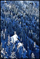 Pine forest on slope in winter. Crater Lake National Park, Oregon, USA.