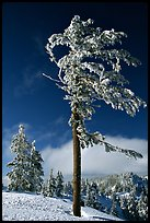Frost-covered pine tree. Crater Lake National Park, Oregon, USA. (color)