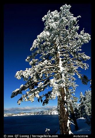 Pine tree with fresh snow on  lake rim. Crater Lake National Park (color)