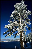 Pine tree with fresh snow on  lake rim. Crater Lake National Park ( color)
