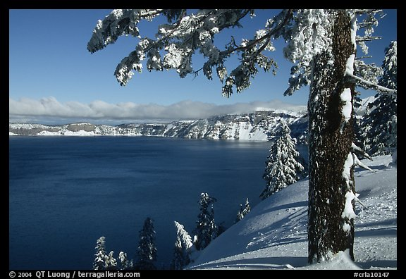 Pine tree with fresh snow on  lake rim. Crater Lake National Park, Oregon, USA.
