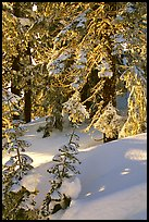 Fresh snow on sunlit branches. Crater Lake National Park, Oregon, USA.