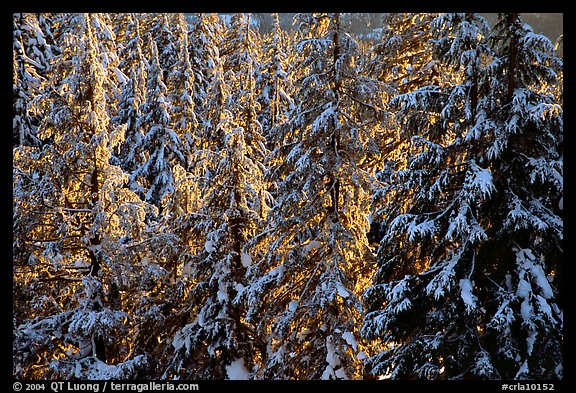 Forest with fresh snow and sunset light. Crater Lake National Park, Oregon, USA.