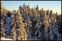 Conifers with fresh snow and sunset light. Crater Lake National Park, Oregon, USA.
