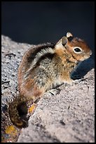 Ground squirel. Crater Lake National Park, Oregon, USA. (color)