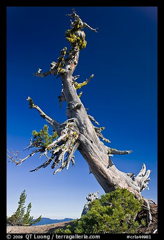 Ancient Whitebark pine and lichen. Crater Lake National Park, Oregon, USA.