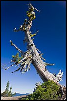 Ancient Whitebark pine and lichen. Crater Lake National Park, Oregon, USA. (color)
