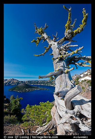 Whitebark pine tree and lake. Crater Lake National Park (color)