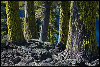 Lava rocks and Western Hemlock trees with lichen, Wizard Island. Crater Lake National Park ( color)