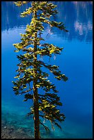 Tree and transparent blue waters, Wizard Island. Crater Lake National Park ( color)