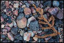 Ground close-up with pumice rocks and fallen branch with needles, Wizard Island. Crater Lake National Park ( color)