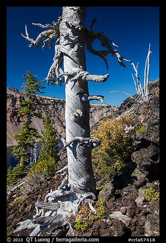 Whitebark pines on Wizard Island cinder cone. Crater Lake National Park (color)