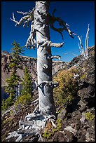 Whitebark pines on Wizard Island cinder cone. Crater Lake National Park ( color)