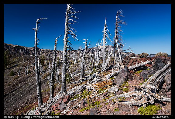 Grove of Whitebark pines on top of Wizard Island cinder cone. Crater Lake National Park (color)