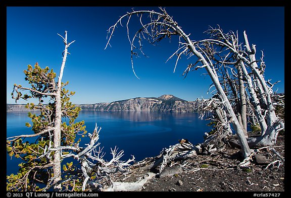 Lake and Mount Scott framed by Whitebark pines on top of Wizard Island cinder cone. Crater Lake National Park (color)